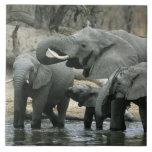 African Elephant, (Loxodonta africana), drinking Large Square Tile