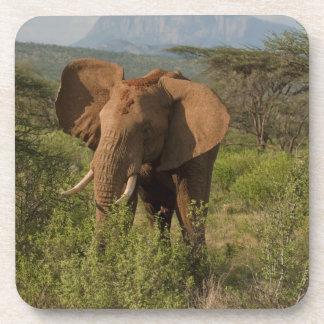 African Elephant, Loxodonta africana, in Samburu Beverage Coaster