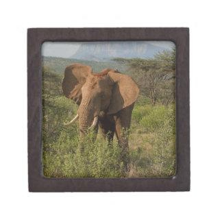 African Elephant, Loxodonta africana, in Samburu Gift Box