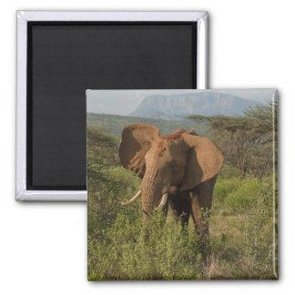 African Elephant, Loxodonta africana, in Samburu Magnet