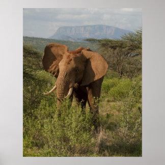 African Elephant, Loxodonta africana, in Samburu Poster