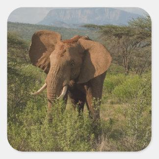 African Elephant, Loxodonta africana, in Samburu Square Sticker