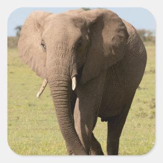African Elephant (Loxodonta Africana), Maasai Square Sticker
