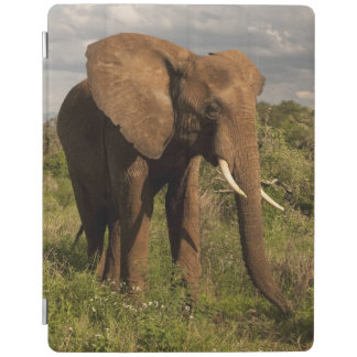 African Elephant, Loxodonta africana, out in a iPad Cover