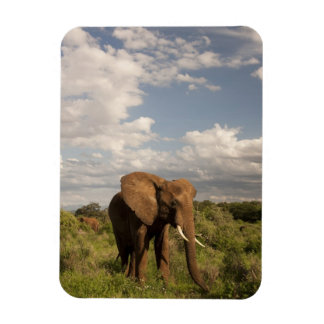 African Elephant, Loxodonta africana, out in a Magnet