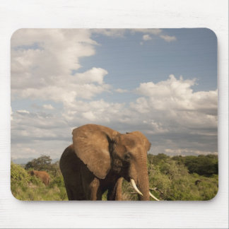 African Elephant, Loxodonta africana, out in a Mouse Pad