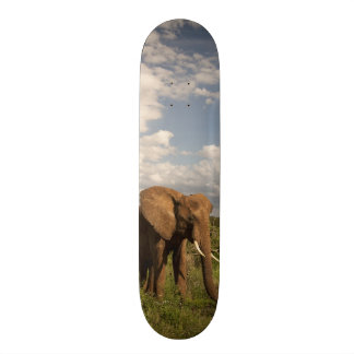 African Elephant, Loxodonta africana, out in a Skateboard