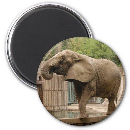 African elephant Magnet