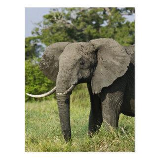 African Elephant, Masai Mara, Kenya. Loxodonta Post Card