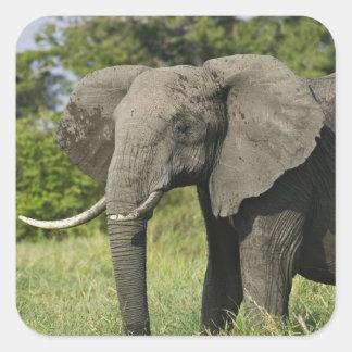 African Elephant, Masai Mara, Kenya. Loxodonta Square Sticker