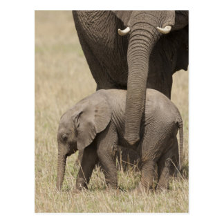 African Elephant mother with baby walking 2 Postcard