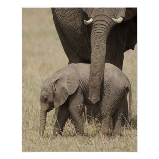 African Elephant mother with baby walking 2 Poster