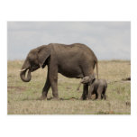 African Elephant mother with baby walking Post Card