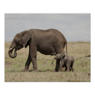 African Elephant mother with baby walking Posters