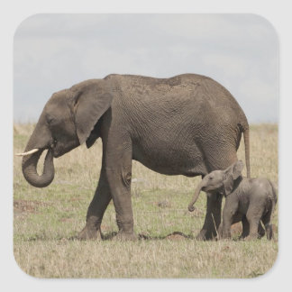 African Elephant mother with baby walking Square Sticker