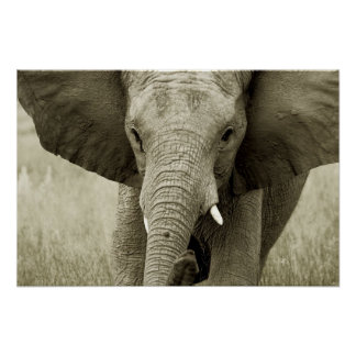 African Elephant poster, print, picture