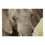 African elephant wildlife posters, images, prints poster