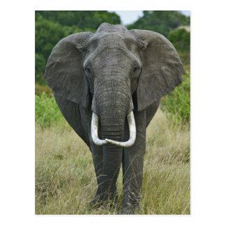 African Elephantna loxodonta, Masai Mara Game Postcards