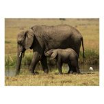African Elephants at water pool Poster
