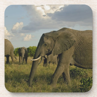 African Elephants grazing, Loxodonta africana, Drink Coaster