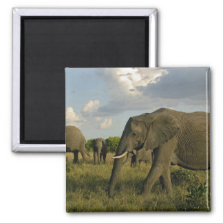 African Elephants grazing, Loxodonta africana, Magnet