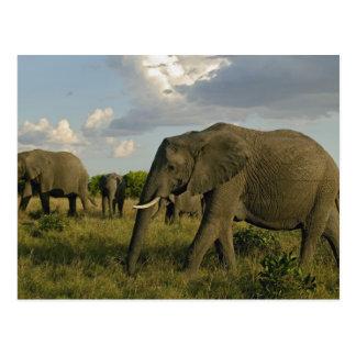 African Elephants grazing, Loxodonta africana, Postcards