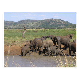African Elephants Postcards