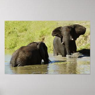African elephants swimming - portfolio size posters