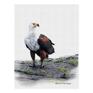 African Fish Eagle on white background Postcard