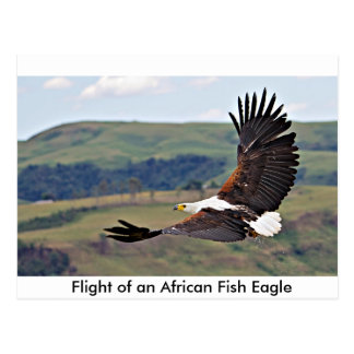 African Fish Eagle. Postcard