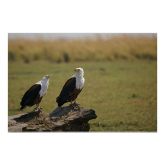 African Fish Eagles Poster