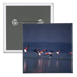 African Flamingos, taking off Pinback Buttons