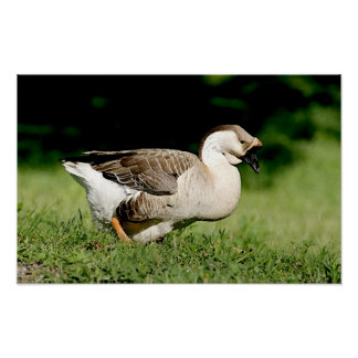 African Geese Goose Portrait Poster Print