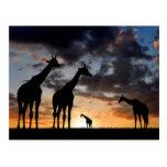 African giraffe postcard