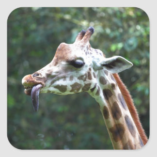 African giraffe with tongue hanging out square sticker