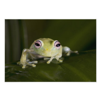 African Glass Frog Hyperolius viridiflavus Photographic Print