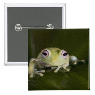 African Glass Frog, Hyperolius viridiflavus, Pinback Button