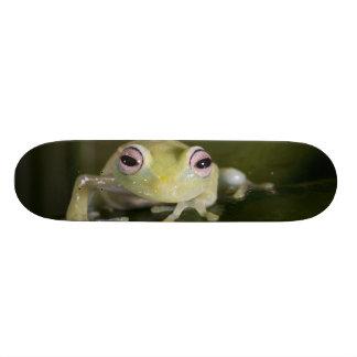 African Glass Frog, Hyperolius viridiflavus, Skateboard