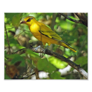 AFRICAN GOLDEN ORIOLE PHOTO PRINT