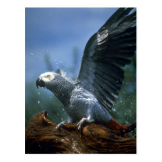 African gray parrot in hose shower postcard