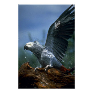 African gray parrot in hose shower poster