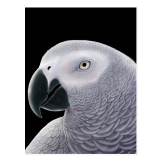 African Gray Parrot Postcard