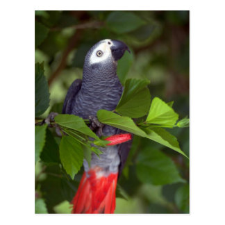 African gray parrot post cards