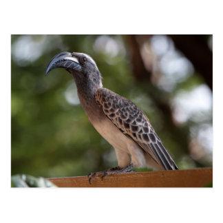 African Grey Hornbill Postcard