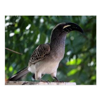 African Grey Hornbill (Tockus nasutus) Postcard