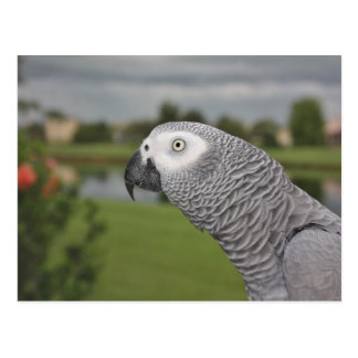 African Grey Lakeside Postcard