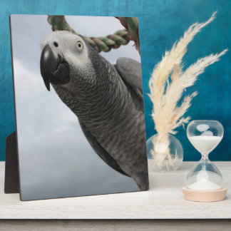 African Grey Parrot Close-up Plaque
