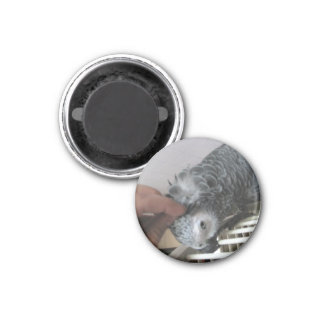 African Grey Parrot getting a head scratched 1 Inch Round Magnet