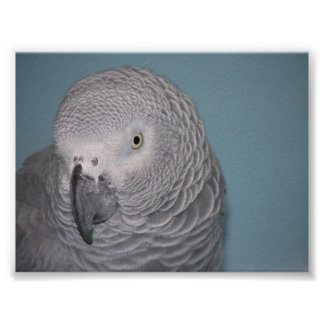 African Grey Parrot Posters