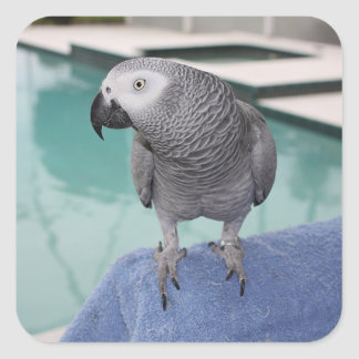 African Grey Pool Party Square Sticker